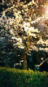夜桜 見頃 福島区 野田阪神駅前美容室